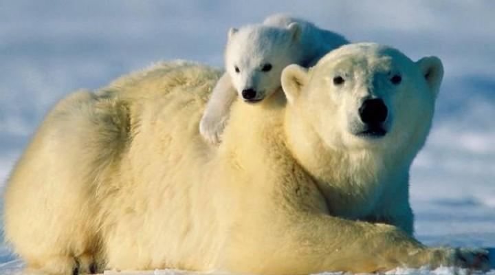 Google Street View tracking polar bears